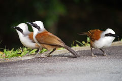 White-crested laughingthrush. A trio of white-crested laughingthrushes pose for the camera Royalty Free Stock Images