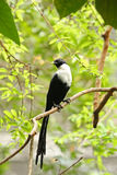 White Crested Myna Royalty Free Stock Images