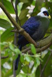 White-Crested Turaco (Tauraco Leucolophus) Royalty Free Stock Images