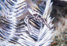 White crinoid shrimp. White shrimp standing on white crinoid Stock Images
