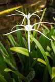 White Crinum bloom Royalty Free Stock Photo