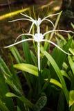 White Crinum bloom Royalty Free Stock Photo