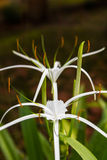 White Crinum bloom Stock Photography