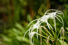 White Crinum flower in the blurry background in high resolution Royalty Free Stock Image