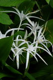 White Crinum Lillies in Rain Forest Royalty Free Stock Photography