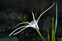 White Crinum Lily Stock Photo