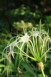 White Crinum Lily bloom in the garden. Royalty Free Stock Images
