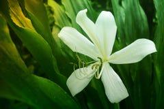 White Crinum Lily Flower Royalty Free Stock Photo