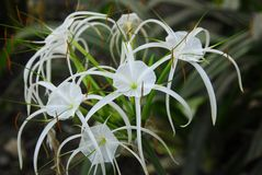White crinum spiderlily Flower. An isolated shot of White crinum spiderlily Flower Royalty Free Stock Photography