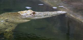 White Croc. A captive white crocodile surfaces at the pool's edge stock photos