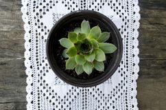 White Crochet Tablecloth whit housekeeper  sempervivum tectorum. White Crochet Tablecloth on the black desk with plant house keeper  sempervivum tectorum Stock Image