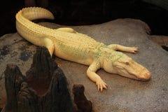 White Crocodile Stock Photos