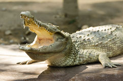White crocodile Royalty Free Stock Image