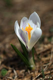White Crocus Stock Photos