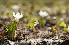 White crocus. Backlighted crocus plant on spring lawn Stock Photos