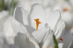 White Crocus. Flower in the spring Stock Photography