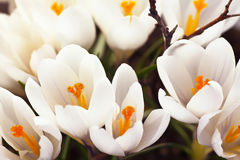 White Crocus Royalty Free Stock Photography