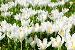 White crocus Royalty Free Stock Photos