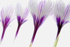 White crocus Royalty Free Stock Image