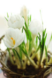 White crocus Royalty Free Stock Images