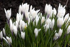 White crocus Stock Photo