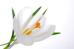 White crocus Royalty Free Stock Photos