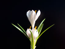 White crocus against black background Stock Photography