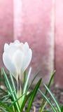 White crocus amid pink walls Royalty Free Stock Photo