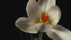 White Crocus Bloom, Blossom timelapse, snowdrops. White Crocus Bloom, Blossom 4k timelapse, snowdrops stock video