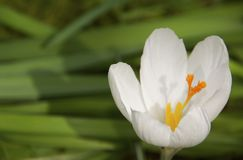 WHITE CROCUS BLOOM. Single, colorful crocus flower growing in the grass Royalty Free Stock Photos