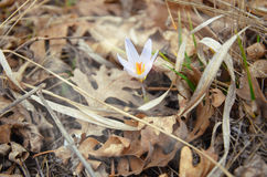 White crocus bloomed in the grass. White crocus bloomed in the dry grass Royalty Free Stock Photography