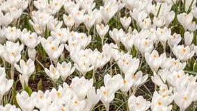 White crocus blooming Gardens Keukenhof springtime. White crocus blooming bed Gardens Keukenhof springtime Stock Photography