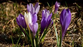 White crocus blooming. Royalty Free Stock Image