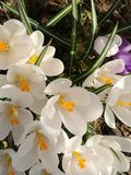 White crocus blossom royalty free stock image