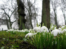 White crocus blossoms hang low in spring rain Stock Photos