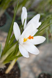 White crocus (Crocus heuffelianus) blooming Stock Photo