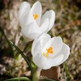 White crocus (Crocus heuffelianus) Stock Photo