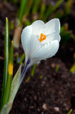 The white crocus (Crocus sativus) flowering. A single white Crocus (Crocus sativus) with some raindrops in Uppland, Sweden royalty free stock photos