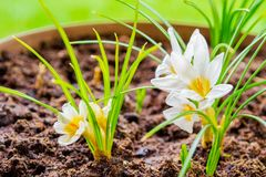 White crocus flowering plants in a gardening pot, in Spring time - close up. Botany, gardening concept.  stock photography