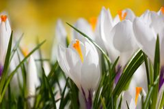 White crocus flowers Stock Photography