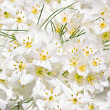 White Crocus flowers Stock Images