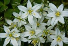 White Crocus Flowers Stock Photo