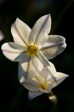 White Crocus Flowers Stock Image