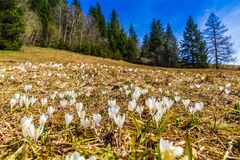 White crocus flowers blooming on the spring meadow. In the mountains stock photography