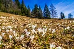 White crocus flowers blooming on the spring meadow. In the mountains royalty free stock images