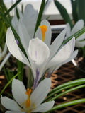 White Crocus. Flowers on display in the greenhouses at Elizabeth park in Hartford, CT Stock Image