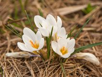 White crocus flowers in dry grass of last year. Close up. royalty free stock photography