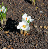 White crocus flowers in the garden Royalty Free Stock Photo