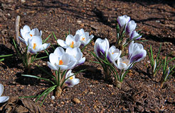 White crocus flowers in the garden Stock Photos