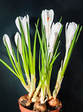 White crocus flowers green plant, spring time, black background Royalty Free Stock Photos